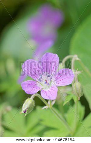Close-up Of Blue Wood Cranesbill Flower