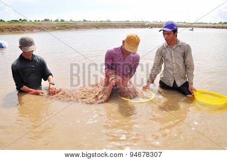 Bac Lieu, Vietnam - November 22, 2012: Fishermen Are Harvesting Shrimp From Their Pond By Fishing Ne