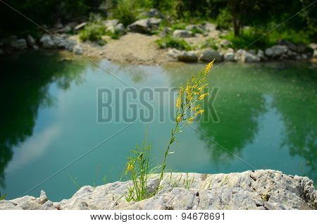 Yellow bedstraw near a pond