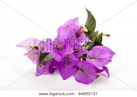 Sprig Of Mauve Bougainvillea Flowers With Green Leaves