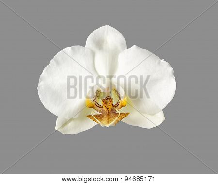 White Orchid Flower Isolated On Grey