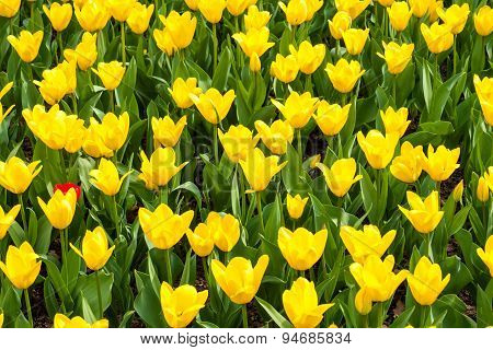 Tulip blossoms in spring