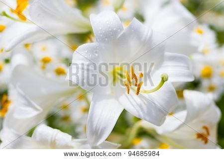Macro Of A Madonna Lily