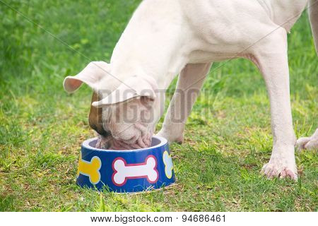 White Boxer Eating
