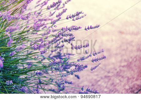 Lavender in wild, toned