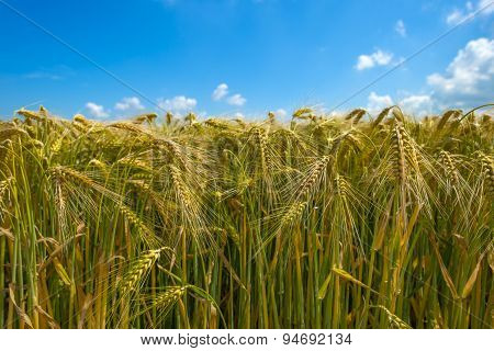 Wheat growing on a sunny field in summer