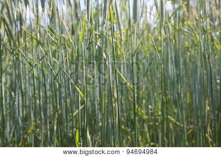 inside wheat field - farming landscape