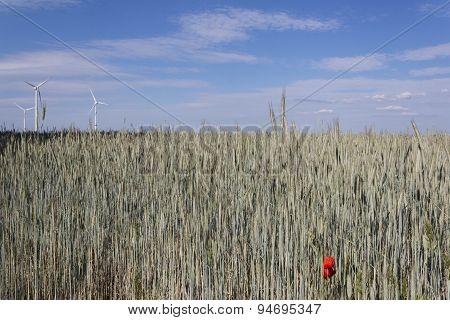 wheat field crop rye