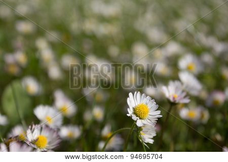 meadow with daisies - daisy flowers