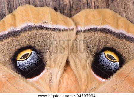 Eyespots Of A Moth