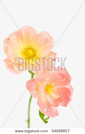 Blush Pink And Yellow Roses