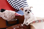 pic of dog clothes  - Adorable chihuahua dog and suitcase with clothing close up - JPG