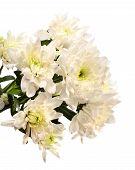 stock photo of chrysanthemum  - White chrysanthemum isolated on a white background - JPG