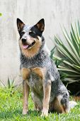 image of blue heeler  - an obedient blue australian cattle dog sitting and staying on command - JPG