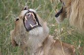 pic of mating  - Male and female lions mating in the Maasi Mara - JPG