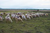 stock photo of steppes  - A herd of sheep in steppe in Ninh Thuan - JPG