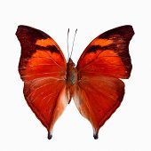 stock photo of butterfly  - Red butterfly Autumn Leaf butterfly Nymphalid butterfly  - JPG