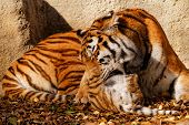 pic of zoo  - The tiger mum in the zoo with her tiger cub  - JPG