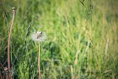 pic of dandelion seed  - lonely dandelion with the scattered seeds on background a green grass with effect a retro and a blank space for the text - JPG