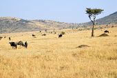 picture of wildebeest  - Beautiful african landscape in Masai Mara Kenya at sunset time - JPG