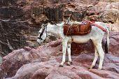 foto of donkey  - Donkey in Petra lost city in Jordan - JPG