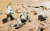 foto of butterfly  - Thorn butterfly  - JPG