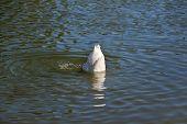 stock photo of duck  - Duck Diving - JPG