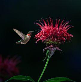 stock photo of hummingbirds  - Male Ruby - JPG