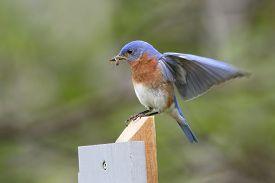 pic of bluebird  - Male Eastern Bluebird  - JPG