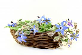 image of borage  - Borage leaves and flowers on a bright background - JPG