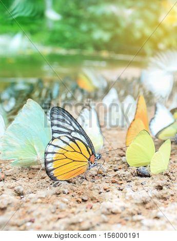 Cluster of butterflies on the ground, Kaeng Krachan National Park, Thailand. Picture on soft background.