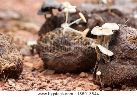 Many white mushrooms grow from Asian elephant dung on the rainforest floor in Thailand