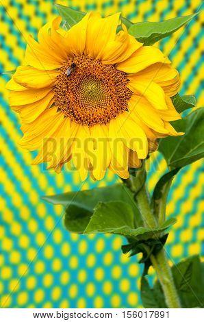 Sunflower, Helianthus
