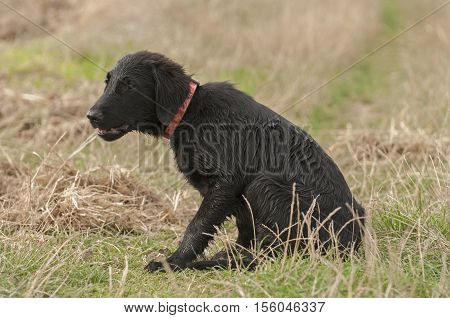 It is image of cute black puppy.