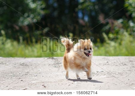 red Small German Spitz in nature runs