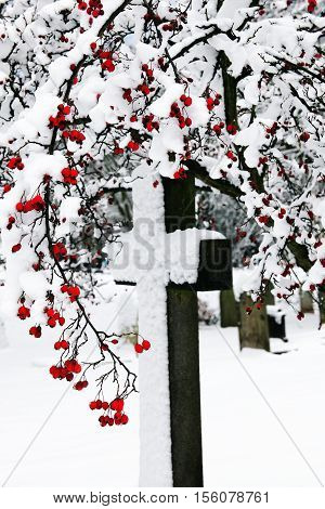 Old snow covered granite stone cross framed with red berries found in an old graveyard in winter