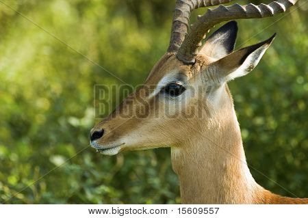 Male Impala In Africa