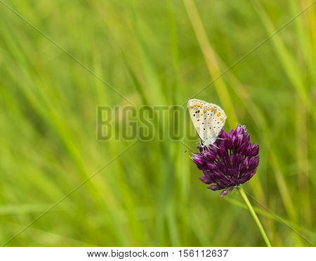 Small butterfly Plebejus argus on flower of pink clover in meadow summer day macro photo. Silver-studded blue Plebejus argyrognomon is butterfly in family Lycaenidae