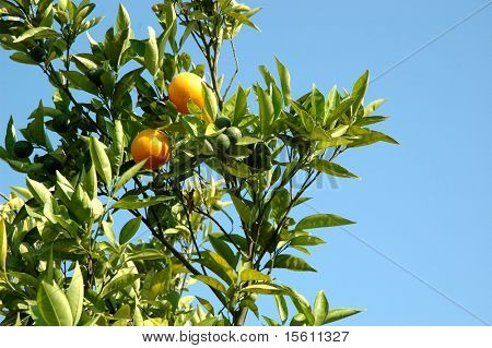 Oranges in the tree