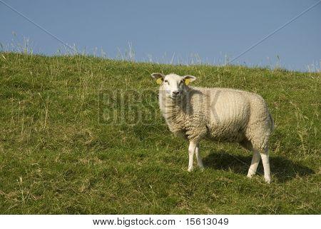 weiße Schafe auf dem Deich von Grasland
