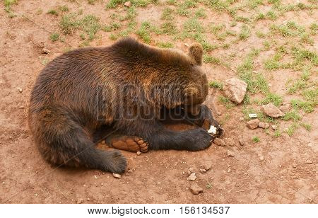 The brown bear lies on the earth. The piece of bread is clamped in forepaws. The red clay earth is covered with a rare grass