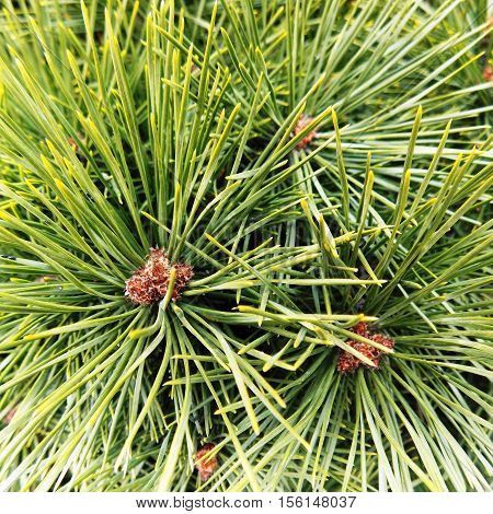 Green pine, Maritime pine, pine cone, pine branch
