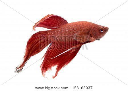 Image of a fighting fish on white background. (Betta splendens)