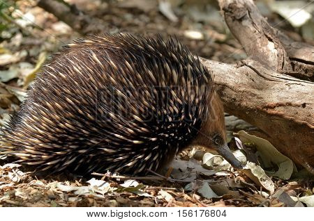 Australian Echidna Searches For Food In The Bush