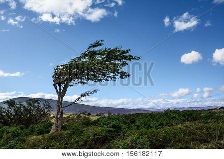 Tree deformed by the wind in Tierra del Fuego