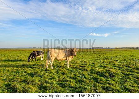 Light brown cow with horns standing in a Dutch nature reserve in low evening sunlight on a nice day in the autumn season. In the background a black sotted cow is grazing.