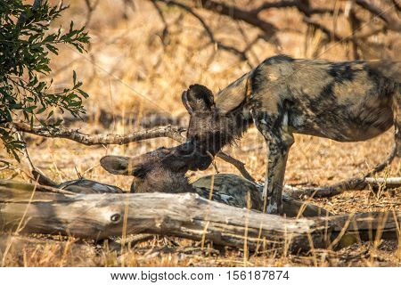 Two African Wild Dogs Bonding.