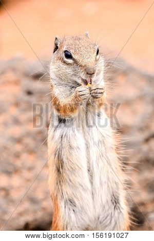 Ground Squirrel Atlantoxerus Getulus