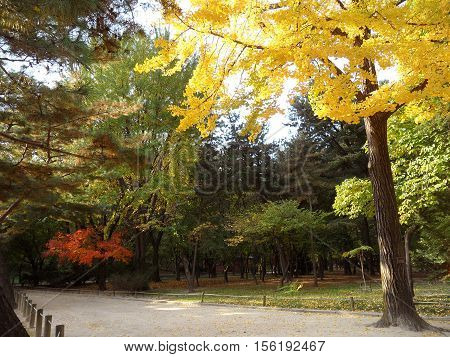 Ginkgo Tree with the Yellow Autumn Leaves Beside the Walkway in Public Park of Seoul, South Korea