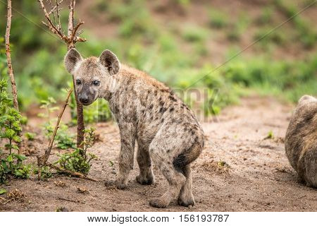 Baby Spotted Hyena Starring At The Camera.